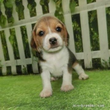ビーグルの子犬(ID:1252911057)の4枚目の写真/更新日:2018-08-20