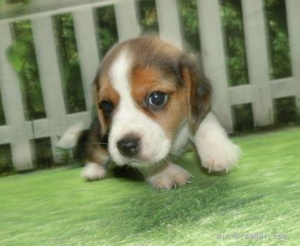 ビーグルの子犬(ID:1252911058)の1枚目の写真/更新日:2021-09-02