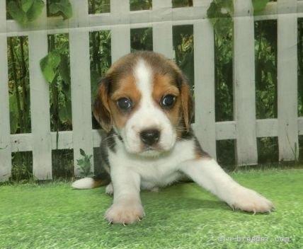 ビーグルの子犬(ID:1252911058)の2枚目の写真/更新日:2021-09-02