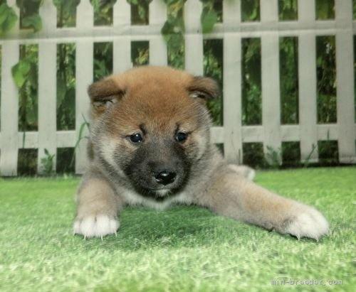 柴犬の子犬(ID:1252911063)の1枚目の写真/更新日:2018-08-08