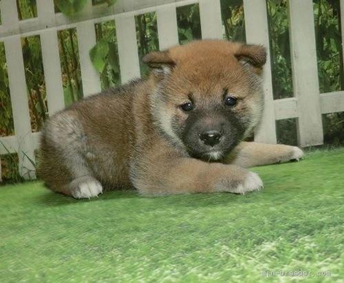 柴犬の子犬(ID:1252911063)の2枚目の写真/更新日:2018-08-08
