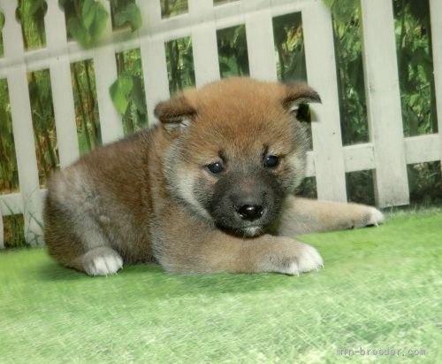柴犬の子犬(ID:1252911063)の3枚目の写真/更新日:2018-08-08