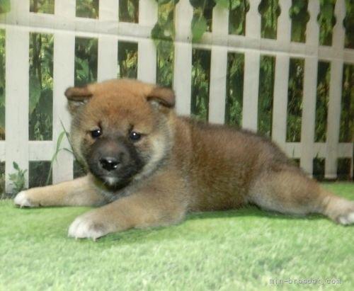 柴犬の子犬(ID:1252911063)の4枚目の写真/更新日:2018-08-08