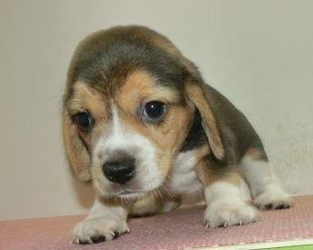 ビーグルの子犬(ID:1252911065)の1枚目の写真/更新日:2020-10-08