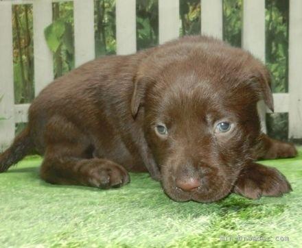 ラブラドールレトリバーの子犬(ID:1252911077)の2枚目の写真/更新日:2019-03-06