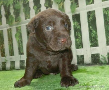 ラブラドールレトリバーの子犬(ID:1252911077)の3枚目の写真/更新日:2019-03-06