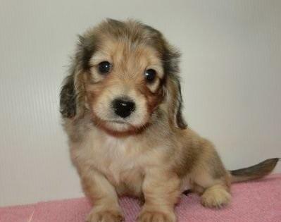 ミニチュアダックスフンド(ロング)の子犬(ID:1252911079)の1枚目の写真/更新日:2019-06-11