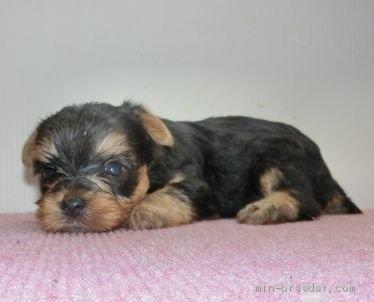 ヨークシャーテリアの子犬(ID:1252911082)の3枚目の写真/更新日:2019-08-10
