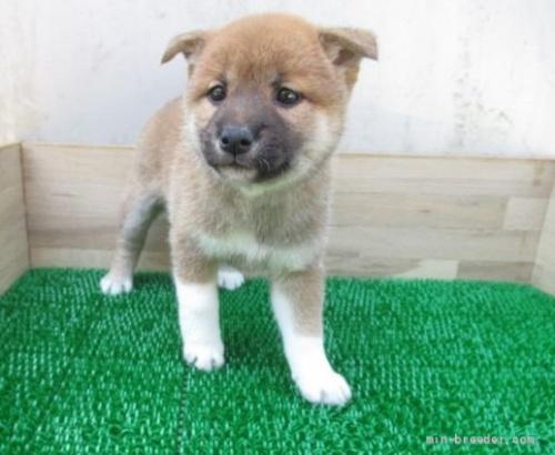 柴犬の子犬(ID:1252911084)の1枚目の写真/更新日:2019-05-04