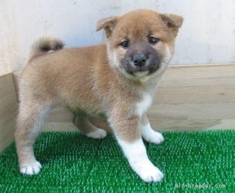 柴犬の子犬(ID:1252911084)の3枚目の写真/更新日:2019-05-04