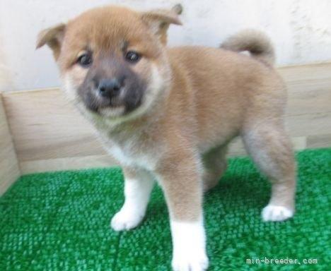柴犬の子犬(ID:1252911084)の4枚目の写真/更新日:2019-05-04
