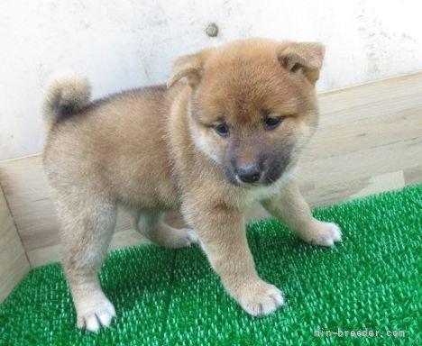 柴犬の子犬(ID:1252911085)の4枚目の写真/更新日:2019-05-04