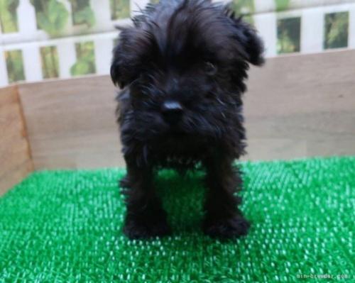 ミニチュアシュナウザーの子犬(ID:1252911089)の2枚目の写真/更新日:2018-07-24