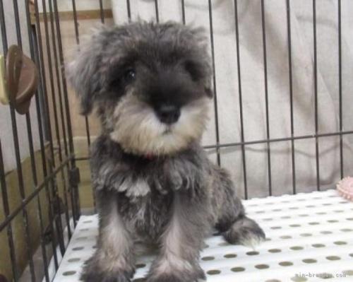 ミニチュアシュナウザーの子犬(ID:1252911090)の2枚目の写真/更新日:2018-07-24