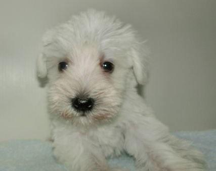 ミニチュアシュナウザーの子犬(ID:1252911116)の1枚目の写真/更新日:2018-07-24