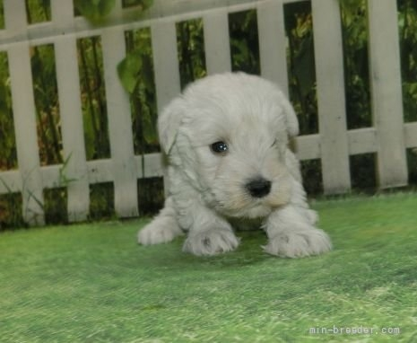 ミニチュアシュナウザーの子犬(ID:1252911119)の2枚目の写真/更新日:2020-03-31