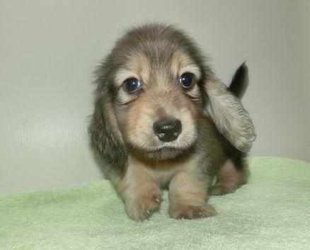 ミニチュアダックスフンド(ロング)の子犬(ID:1252911132)の1枚目の写真/更新日:2018-10-08