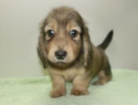 ミニチュアダックスフンド(ロング)の子犬(ID:1252911132)の3枚目の写真/更新日:2018-10-08