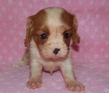 キャバリアの子犬(ID:1252911138)の1枚目の写真/更新日:2018-09-22