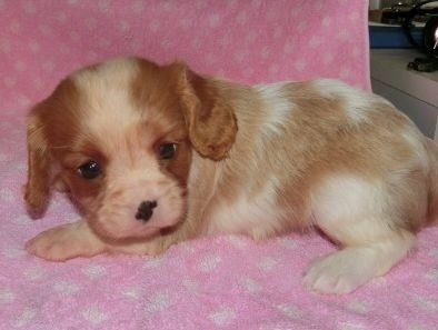 キャバリアの子犬(ID:1252911138)の2枚目の写真/更新日:2018-09-22