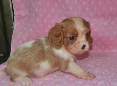 キャバリアの子犬(ID:1252911138)の3枚目の写真/更新日:2018-09-22