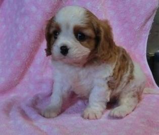 キャバリアの子犬(ID:1252911143)の2枚目の写真/更新日:2018-12-30