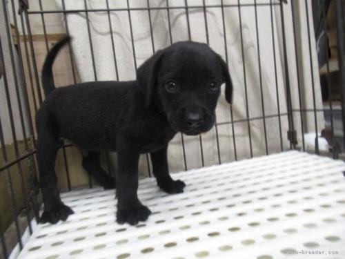 ラブラドールレトリバーの子犬(ID:1252911150)の2枚目の写真/更新日:2019-03-06