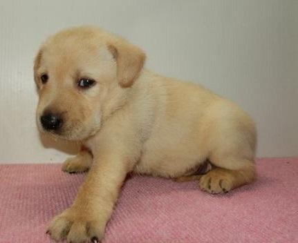 ラブラドールレトリバーの子犬(ID:1252911151)の2枚目の写真/更新日:2019-08-31