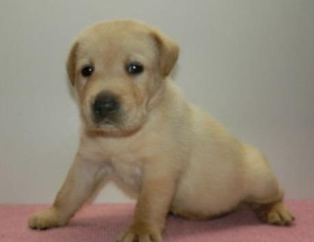 ラブラドールレトリバーの子犬(ID:1252911151)の3枚目の写真/更新日:2019-08-31