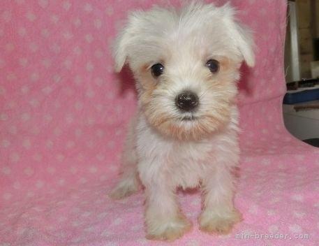 ミニチュアシュナウザーの子犬(ID:1252911156)の1枚目の写真/更新日:2018-07-30