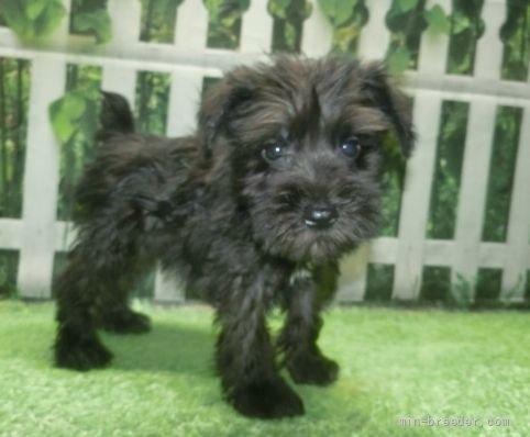ミニチュアシュナウザーの子犬(ID:1252911157)の3枚目の写真/更新日:2021-10-04