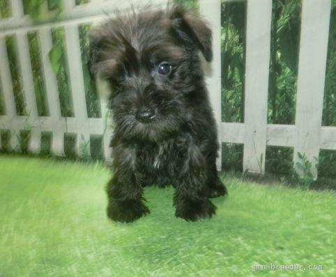 ミニチュアシュナウザーの子犬(ID:1252911157)の4枚目の写真/更新日:2021-10-04
