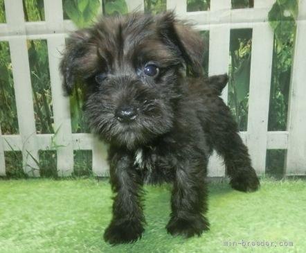 ミニチュアシュナウザーの子犬(ID:1252911157)の5枚目の写真/更新日:2021-10-04