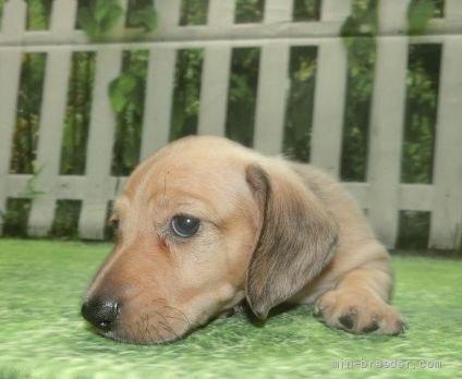 ミニチュアダックスフンド(スムース)の子犬(ID:1252911159)の1枚目の写真/更新日:2021-08-16