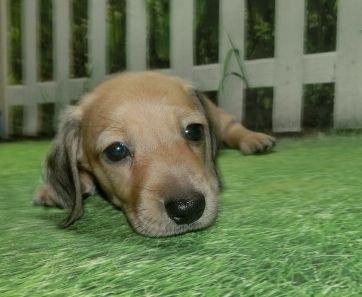 ミニチュアダックスフンド(スムース)の子犬(ID:1252911159)の2枚目の写真/更新日:2021-08-16