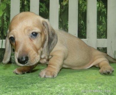 ミニチュアダックスフンド(スムース)の子犬(ID:1252911159)の3枚目の写真/更新日:2021-08-16
