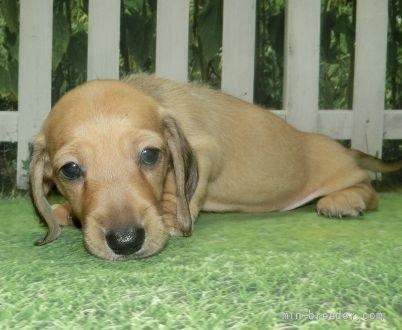 ミニチュアダックスフンド(スムース)の子犬(ID:1252911159)の4枚目の写真/更新日:2021-08-16