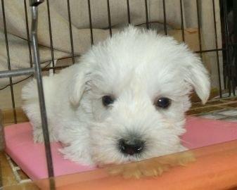 ミニチュアシュナウザーの子犬(ID:1252911162)の1枚目の写真/更新日:2020-03-31