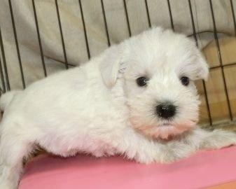 ミニチュアシュナウザーの子犬(ID:1252911162)の2枚目の写真/更新日:2020-03-31