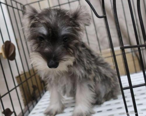 ミニチュアシュナウザーの子犬(ID:1252911163)の2枚目の写真/更新日:2021-10-04