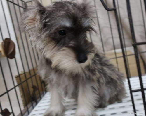ミニチュアシュナウザーの子犬(ID:1252911163)の3枚目の写真/更新日:2021-10-04
