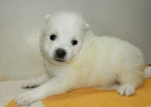 日本スピッツの子犬(ID:1252911170)の1枚目の写真/更新日:2016-12-25