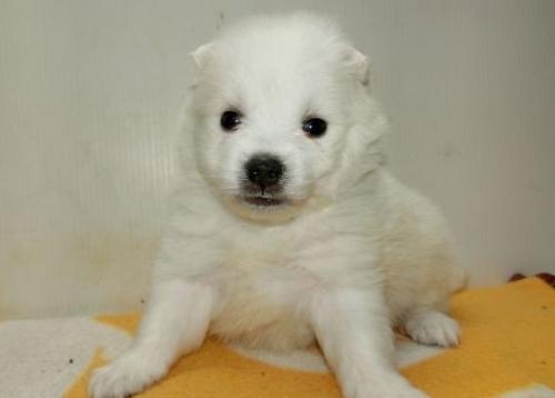 日本スピッツの子犬(ID:1252911170)の2枚目の写真/更新日:2016-12-25