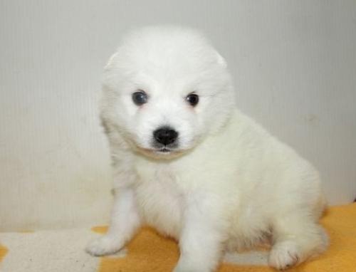 日本スピッツの子犬(ID:1252911171)の2枚目の写真/更新日:2016-12-25