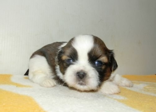シーズーの子犬(ID:1252911174)の1枚目の写真/更新日:2017-01-12