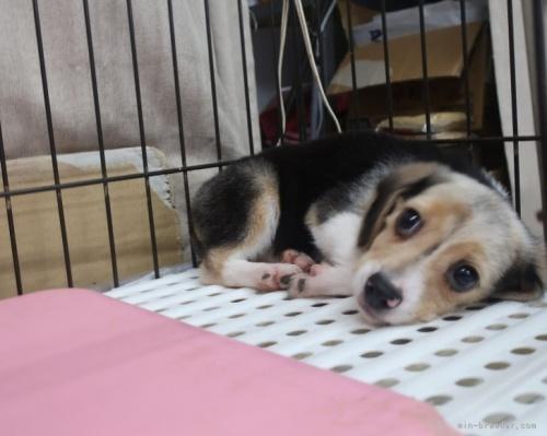 ビーグルの子犬(ID:1252911176)の2枚目の写真/更新日:2021-09-02