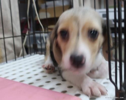 ビーグルの子犬(ID:1252911176)の3枚目の写真/更新日:2021-09-02