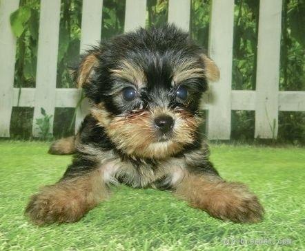 ヨークシャーテリアの子犬(ID:1252911178)の1枚目の写真/更新日:2017-03-08