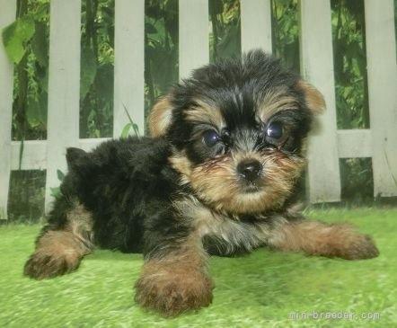 ヨークシャーテリアの子犬(ID:1252911178)の2枚目の写真/更新日:2017-03-08