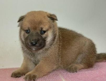 柴犬の子犬(ID:1252911179)の1枚目の写真/更新日:2017-02-27